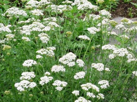 цветы тысячелистник на лугу