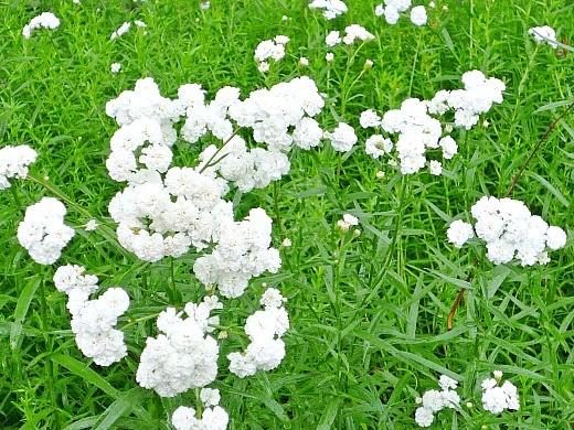белые цветы тысячелистника в дачной рабатке