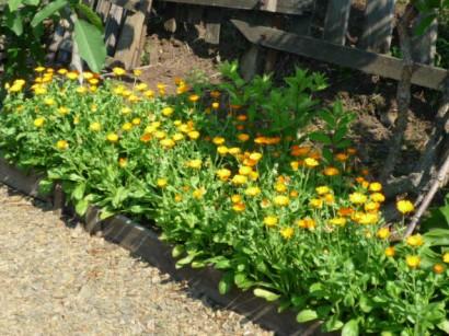 цветы календулы1