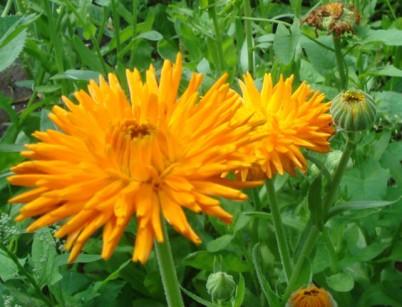 цветы календулы2