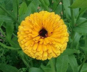 цветы календулы3