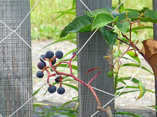 виноград девичий, посадка и размножение 2