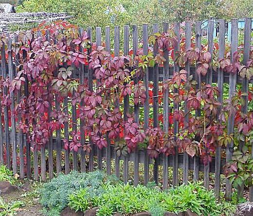 виноград девичий, посадка и размножение 3