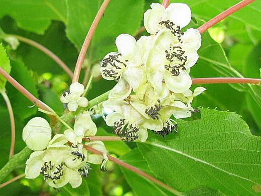 актинидия коломикта, посадка и выращивание 2