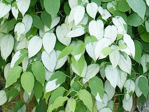 актинидия коломикта, посадка и выращивание 3