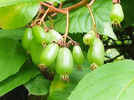 актинидия коломикта, посадка и выращивание