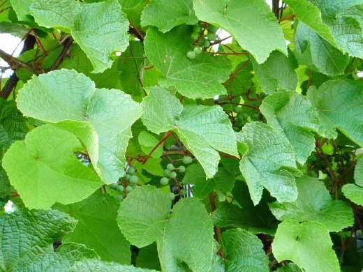 амурский виноград дикий, посадка и уход 1-3