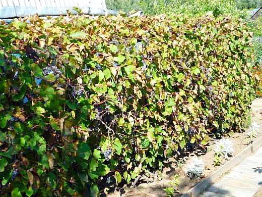 амурский виноград дикий, посадка и уход 1-6