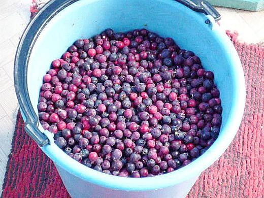 ирга ягода, полезные свойства 2