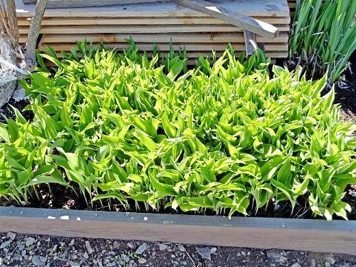 ландыши на даче - весенняя зелень листьев цветов