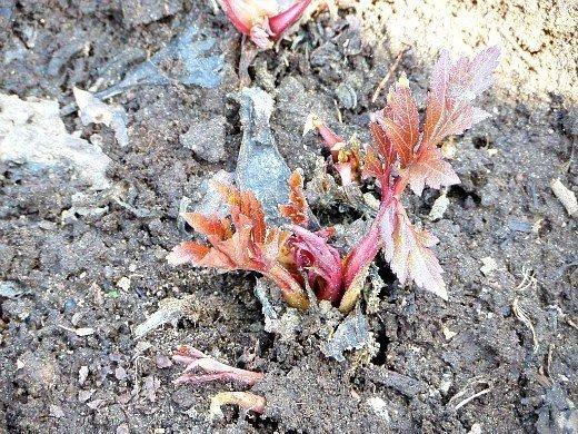 любисток выращивание, применение - первые листья