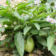 пепино фрукт, выращивание на даче