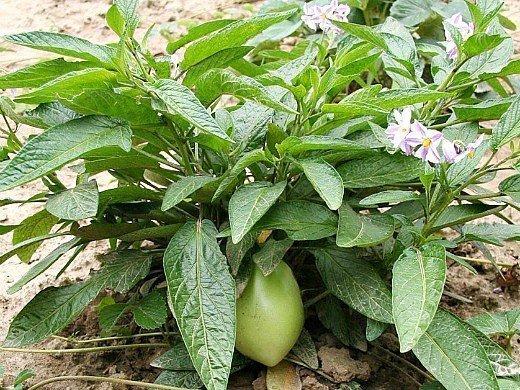 пепино фрукт, выращивание на даче - цветение и плоды