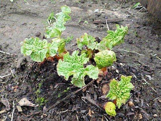 ревень посадка, выращивание - первые почки весной