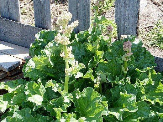 ревень посадка, выращивание - цветение