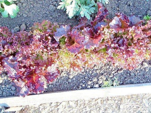 салат-латук, выращивание на даче - красный