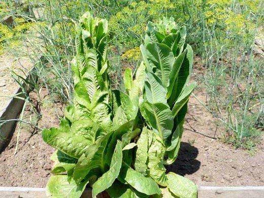 салат-латук, выращивание на даче - цветение