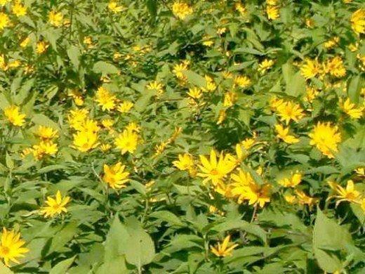 топинамбур, выращивание на даче - цветение