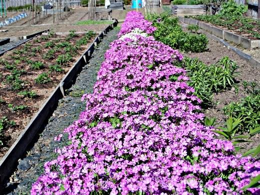 цветок примула - цветочный рай