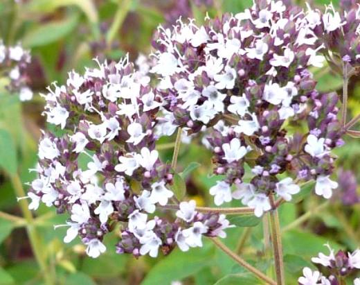 цветы душица на дачном газоне