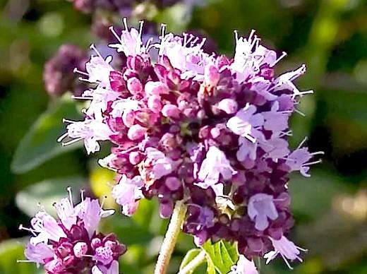 цветы душица на газоне