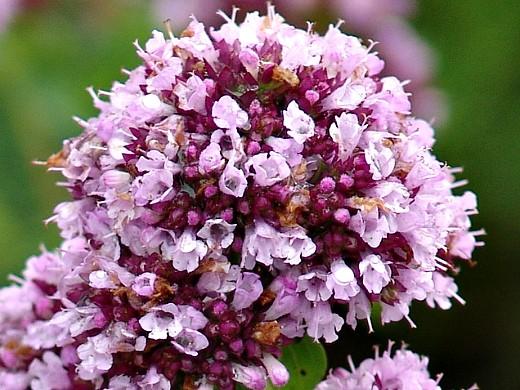 цветы душица на даче