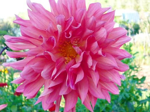 цветы георгины на даче, посадка - светло-красные