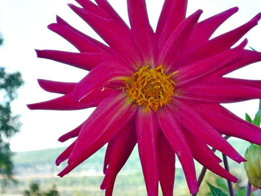 цветы георгины на даче, посадка - красные