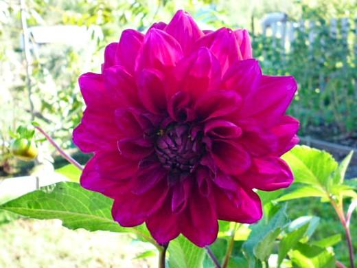 цветы георгины на даче, посадка 1-5