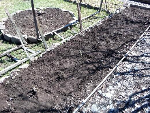цветы георгины на даче, посадка - клубни георгин, вкопанные в весеннюю землю