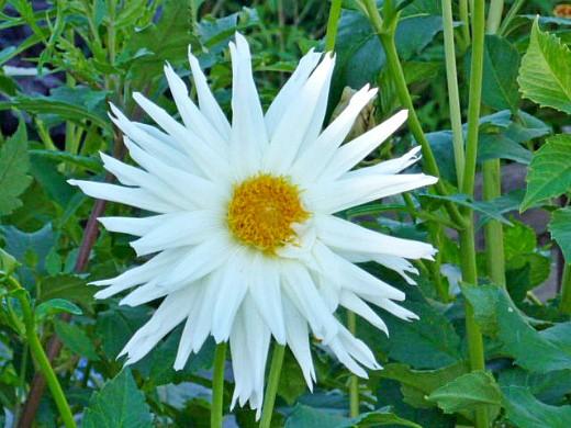 цветы георгины на даче, посадка - белые