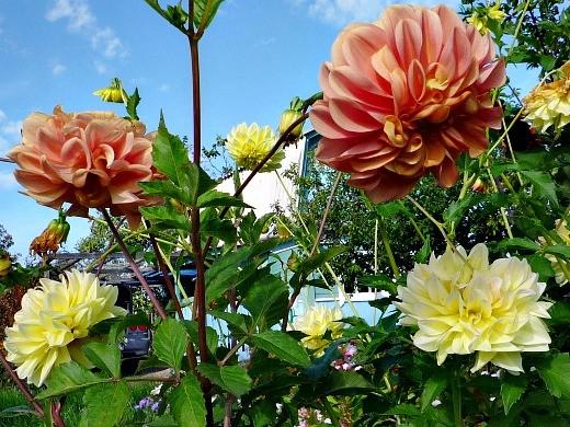 цветы георгины на даче, посадка - кремовые и нежно-желтые