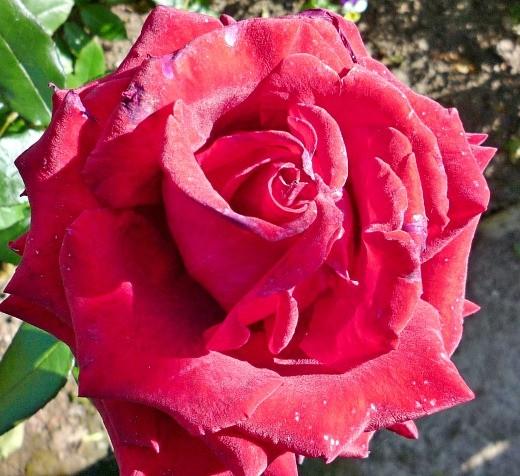 цветы розы красные на даче, посадка