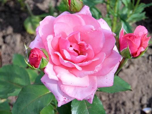 розового цвета розы на даче, посадка