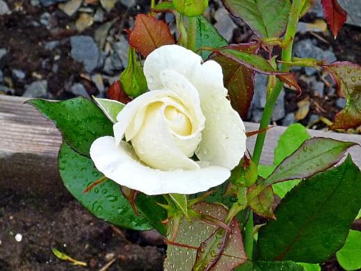 белые цветы розы на даче, посадка