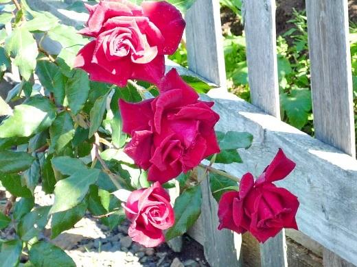 цветы розы на даче, посадка возле забора