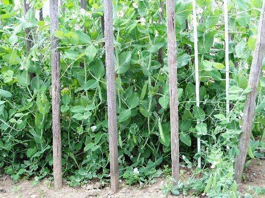 горох выращивание на шпалерах и уход