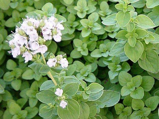 садовый майоран, выращивание на даче