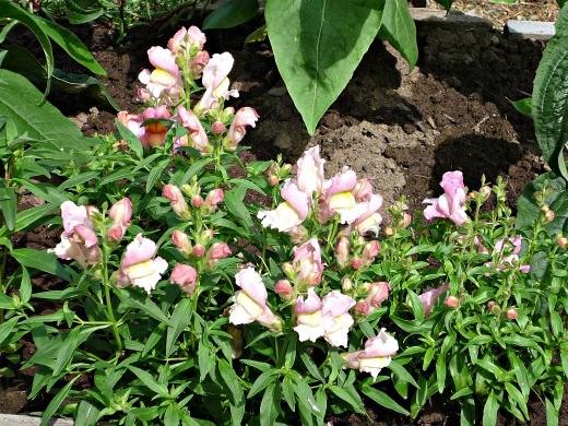 цветы львиный зев нежно-розового цвета