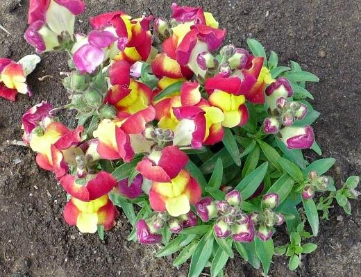 цветы львиный зев, разноцветные