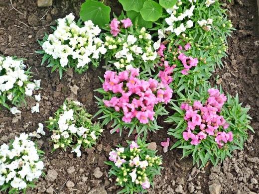 цветы львиный зев, белые и розовые