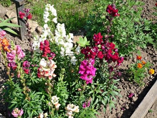 цветы львиный зев, смесь расцветок на дачной клумбе
