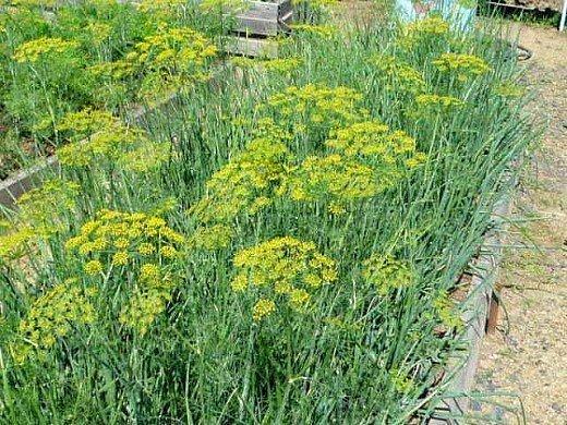 укроп посадка и выращивание в огороде