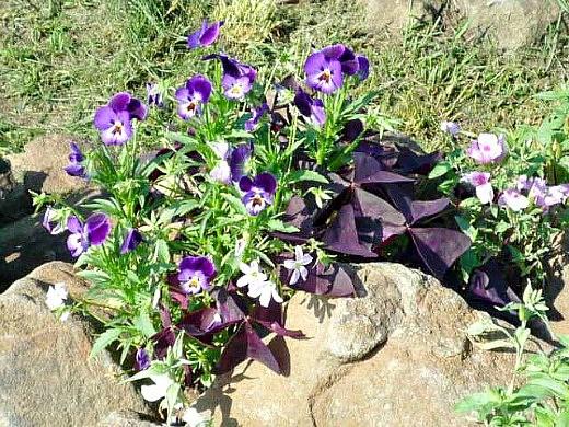 Цветок кислица треугольная