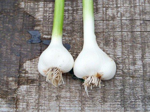 выращивание ярового и озимого чеснока - молодой чеснок
