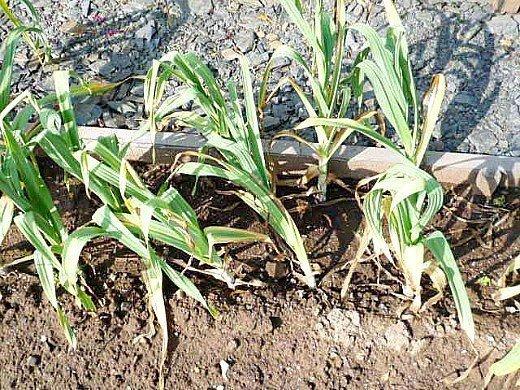 выращивание ярового и озимого чеснока на даче