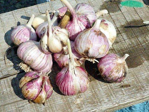 выращивание ярового и озимого чеснока - урожай