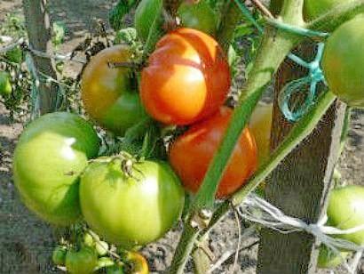 varene-iz-zelenyih-pomidor-retseptyi-1