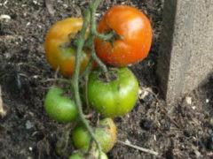 варенье из зеленых помидор с орехами