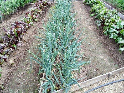 выращивание репчатого лука из севка - на даче
